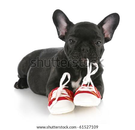 french bulldog puppy chewing on pair of red running shoes with reflection on white background - stock photo