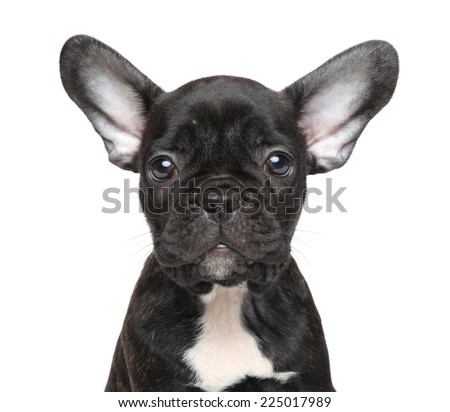 French bulldog puppy. Close-up portrait on isolated white background