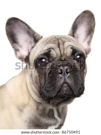 French bulldog puppy. Close-up portrait on white background - stock photo
