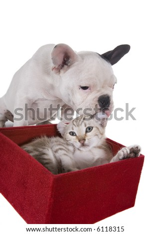 French bulldog puppy giving kitten licks and kisses , isolated on white background