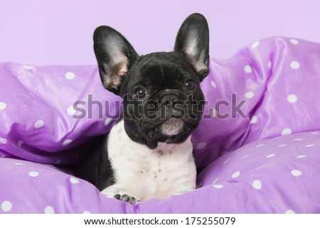 French bulldog puppy in a bed