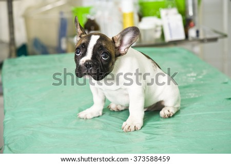 French bulldog puppy in veterinary clinic - stock photo