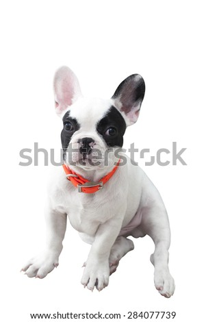 French bulldog puppy isolated on background - stock photo