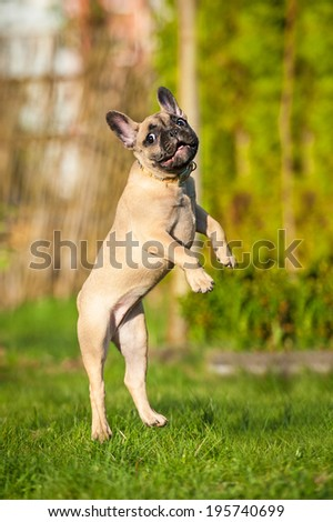 French bulldog puppy jumping in the air - stock photo