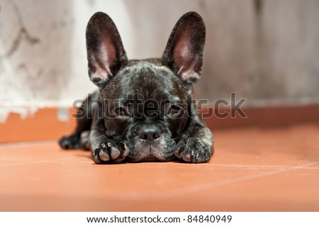 French Bulldog puppy lying on the ground that looks - stock photo