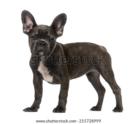 French Bulldog puppy (5 months old)
