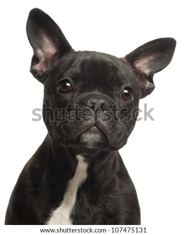 French bulldog puppy, 5 months old, portrait and close up against white background - stock photo