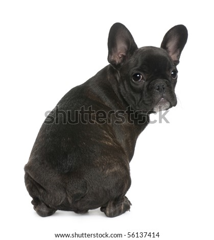 French Bulldog puppy, 4 months old, sitting in front of white background - stock photo
