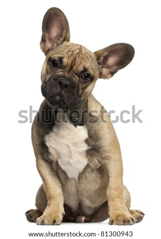 French bulldog puppy, 5 months old, sitting in front of white background - stock photo