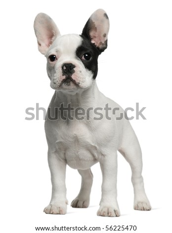 French Bulldog puppy, 3 months old, standing in front of white background - stock photo