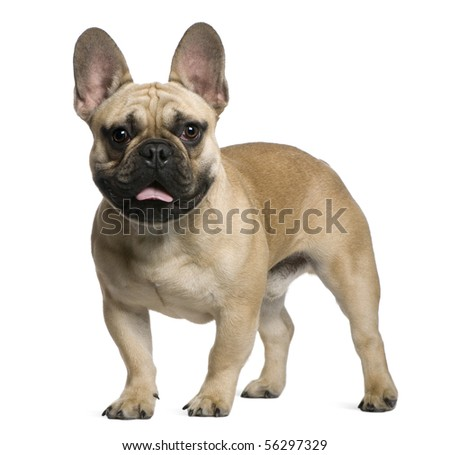 French Bulldog puppy, 7 months old, standing in front of white background