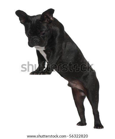 French Bulldog puppy, 7 months old, standing near red crate in front of white background - stock photo