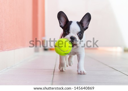 French bulldog puppy playing with his ball