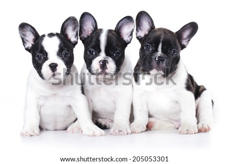 French bulldog puppy portrait on a white background - stock photo