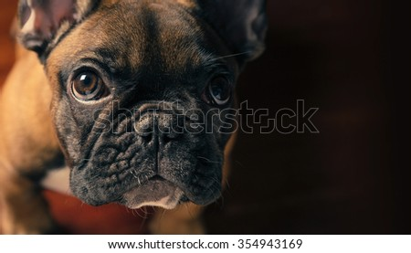 French bulldog puppy portrait on dark background. - stock photo