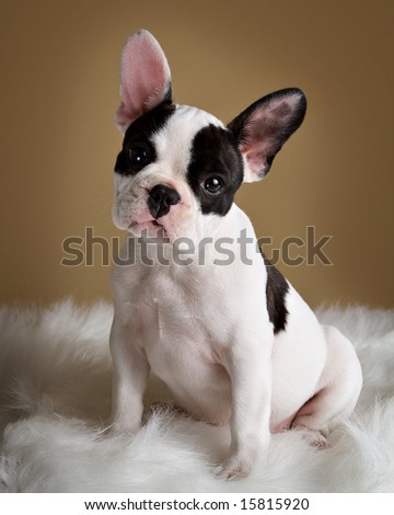 French bulldog puppy poses with a  inquisitive look. - stock photo
