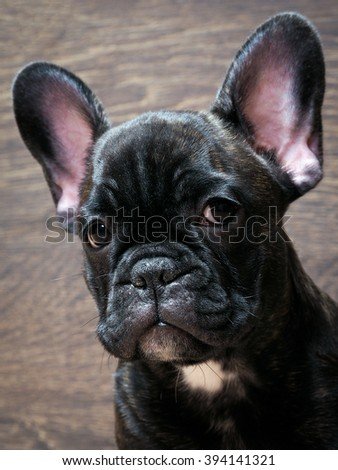 French bulldog puppy. Puppy black. Big dog muzzle. Thoroughbred elite puppy