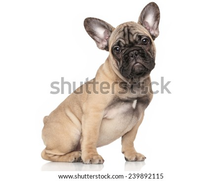 French bulldog puppy sits in front of white background