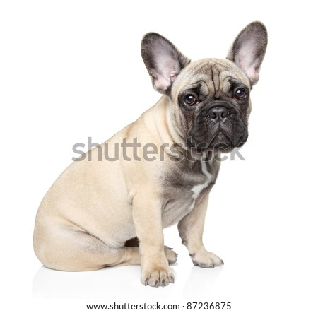 French bulldog puppy sits on a white background - stock photo