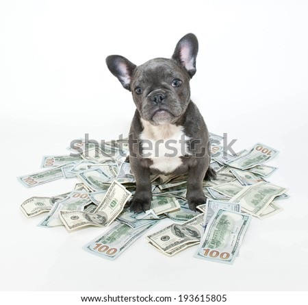 French bulldog puppy sitting in the middle of a pile of hundred dollar bills.