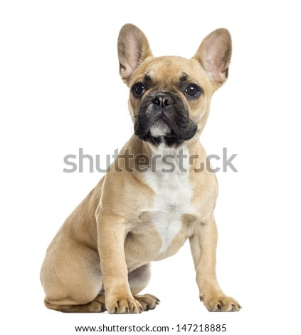 French Bulldog puppy sitting, looking up, isolated on white - stock photo