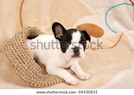 French bulldog puppy, six weeks old - stock photo