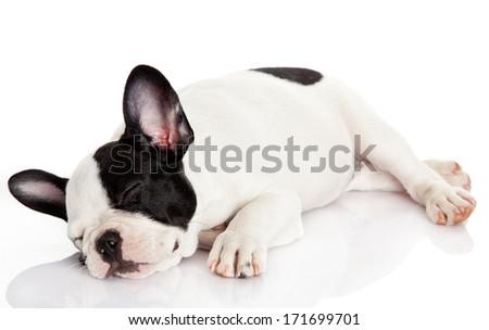 French bulldog puppy sleeping. - stock photo
