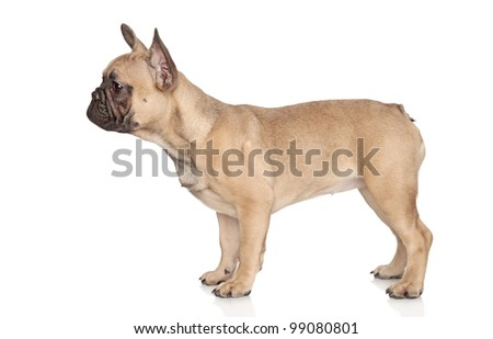 French Bulldog puppy standing, on a white background