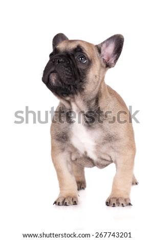 french bulldog puppy standing on white looking up - stock photo