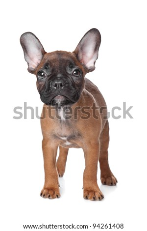 French Bulldog puppy(18 weeks) in front of a white background