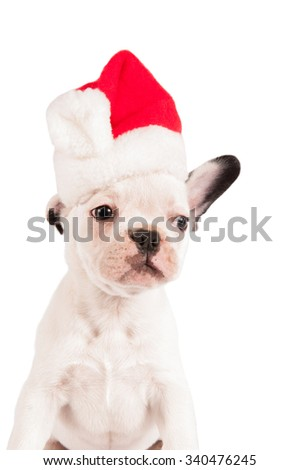 French bulldog puppy with santa hat on white background