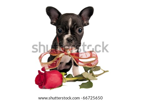 French bulldog puppy with valentine rose in front of a white background.