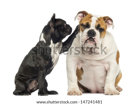 French bulldog reaching at a bored English bulldog, isolated on white