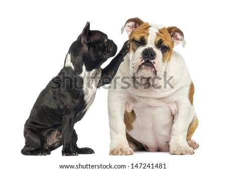 French bulldog reaching at a bored English bulldog, isolated on white - stock photo