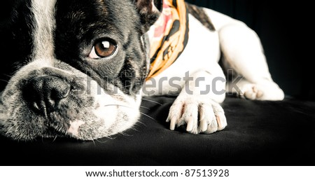French bulldog resting after a session of work - stock photo