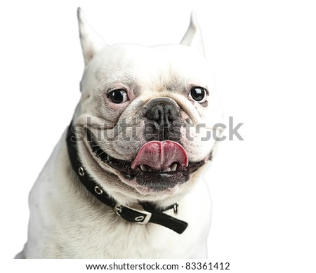 french bulldog showing the tongue against a white background - stock photo
