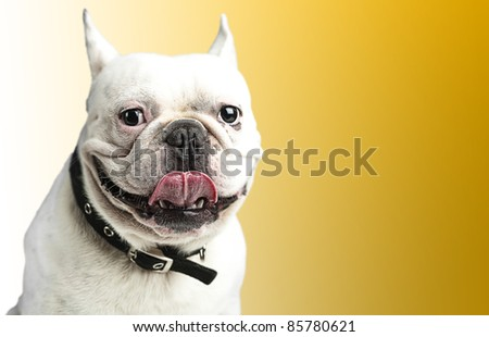 french bulldog showing the tongue against a yellow background - stock photo
