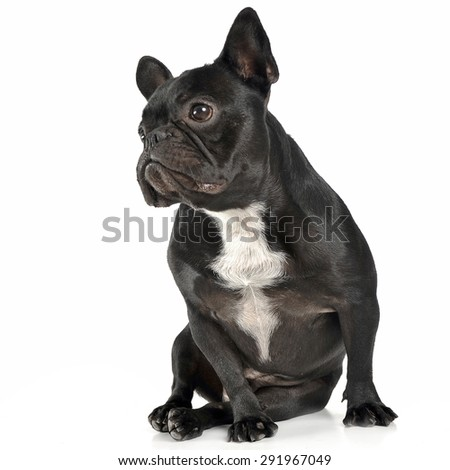 French bulldog sitting and looking sideway sin the white studio