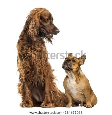 French Bulldog sitting and looking up at an Irish setter - stock photo