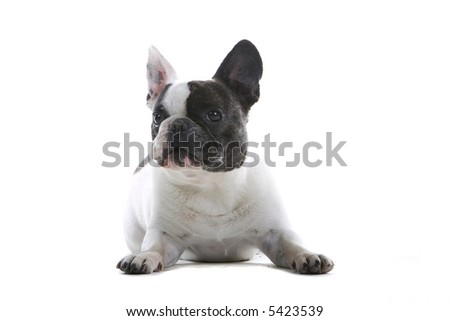 French Bulldog sitting down and looking into the camera