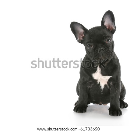 french bulldog sitting looking at viewer with reflection on white background - stock photo