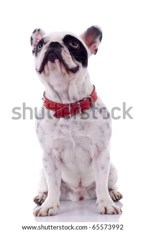 French bulldog sitting on table and looking up
