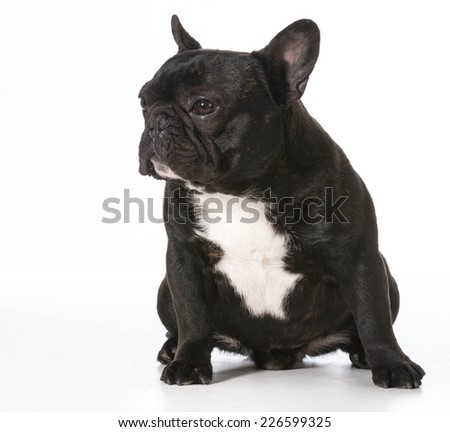 french bulldog sitting - one year old male