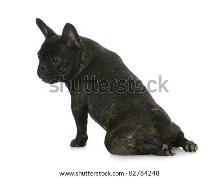 french bulldog sitting with legs flipped backwards - this is characteristic of this breed - stock photo