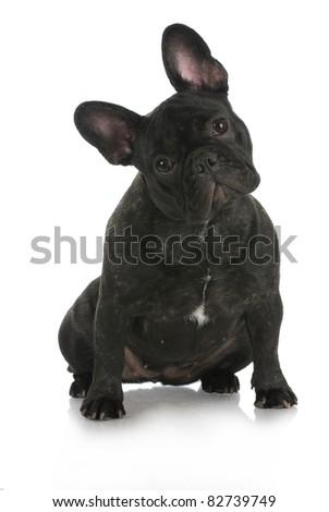 french bulldog sitting with reflection on white background - stock photo