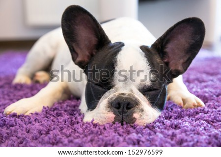 French bulldog sleeping on the carpet - stock photo