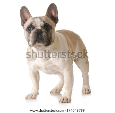 french bulldog standing isolated on white background