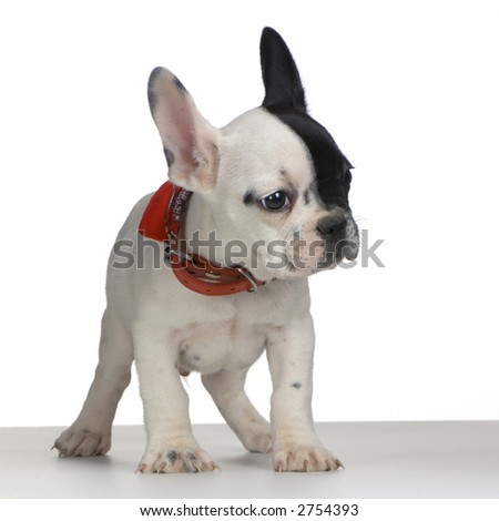 french Bulldog standing up in front of white background