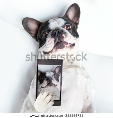 French bulldog taking a selfie with cell phone camera  - stock photo