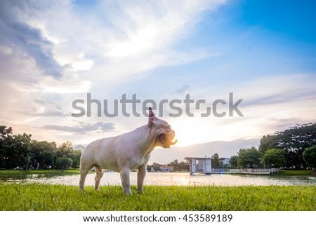 French bulldog under the morning sunshine  - stock photo